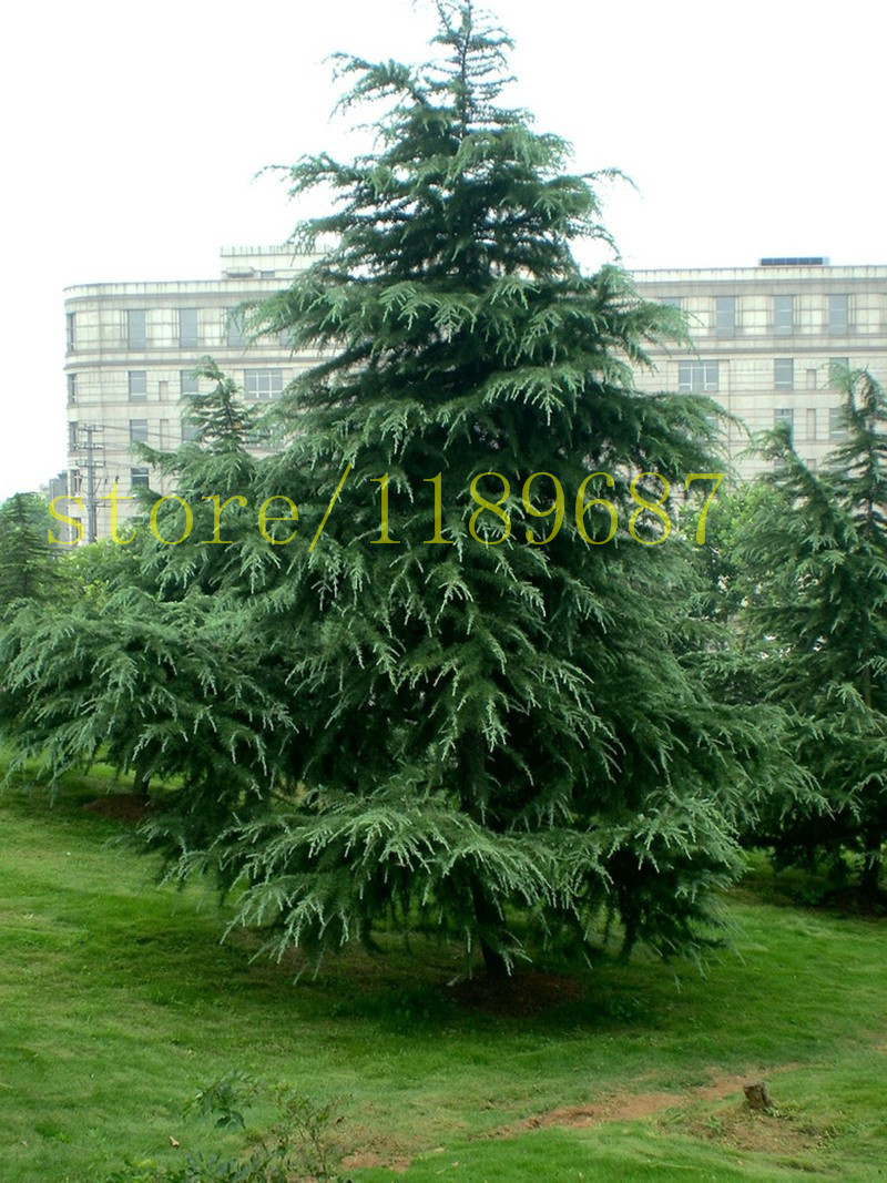 Pictures of cedar trees - 100pcs Cedar Tree Seeds Evergreen Forest Seed Woody Perennial Cedar Potted Plants Bonsai Pine Tree