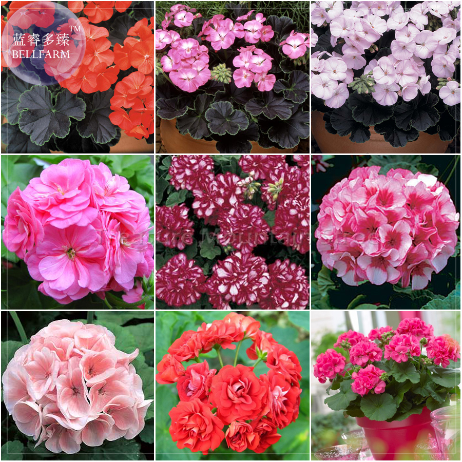 Bellfarm Geranium Mixed 9 Types Of Bonsai Flowers 10pcspack