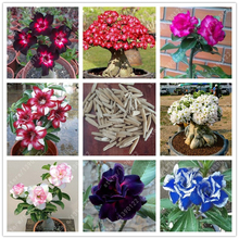 20 pcs/bag High quatily Desert Rose seeds all kinds of adenium obesum seeds plant pot bonsai flower seeds for home garden plant