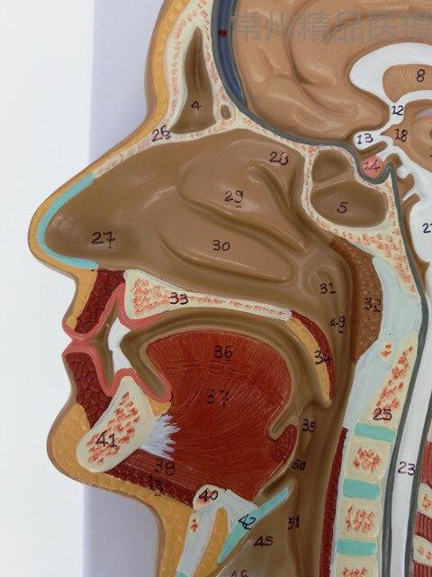 Sagital Section Of Human Head Human Brain Middle Cut Model Medical