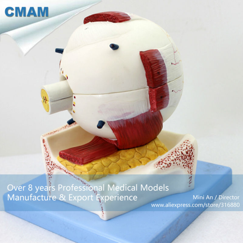 CMAM EYE05 Medical Anatomy Eyeball Model, 5 times full size, 7 parts ...