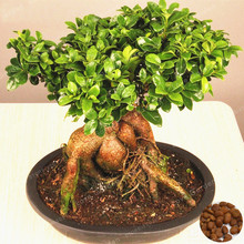 20 Pcs Chinese Rare Ficus Microcarpa Tree Seeds China Roots Sementes Bonsai Ginseng Banyan Garden Tree Outdoor Planters