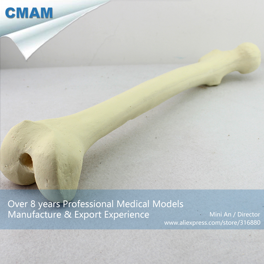 No. 12318 , Human Femur Bone, Model of Orthopedics Implantation Practice, CMAM china medical anatomical models no 12314 hip and femur bone model of orthopedics implantation practice cmam china medical anatomical models