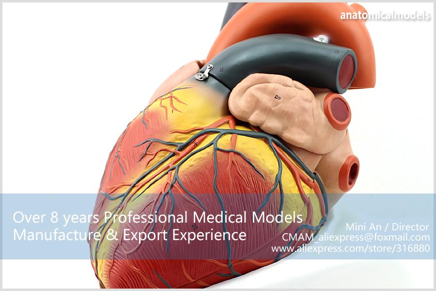 12487 CMAM HEART11 Vergrößert Menschliche Herz Anatomie Modell ...