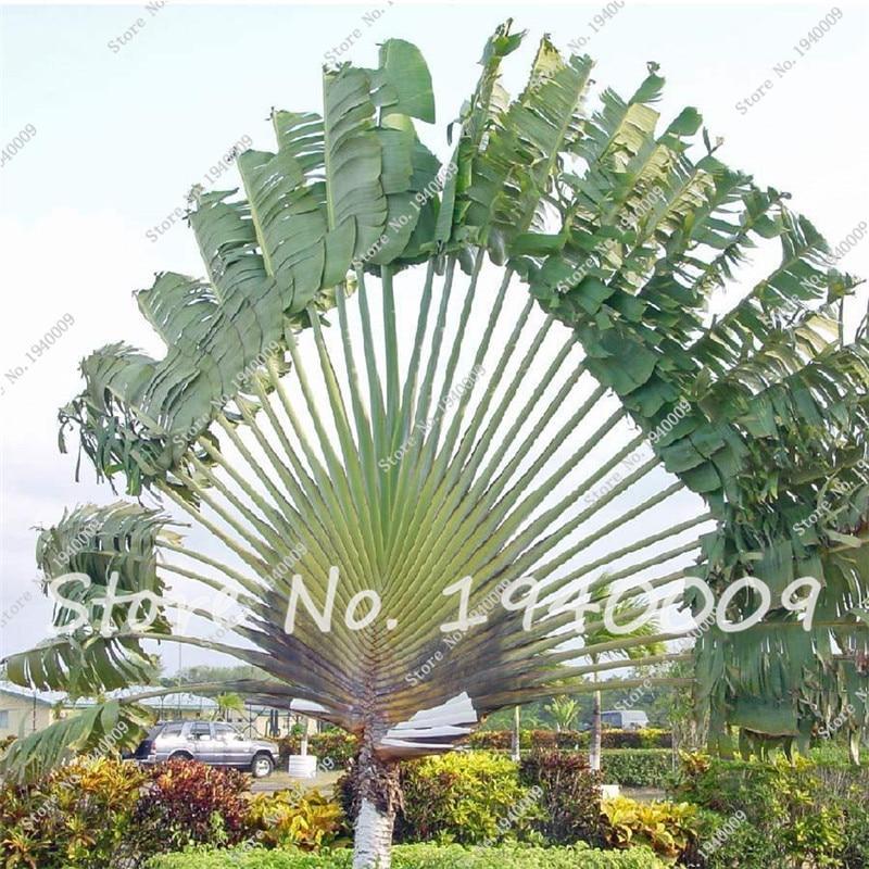 Rare bonsai seeds giant palm tree seeds tropical plants for Decoration jardin tropical