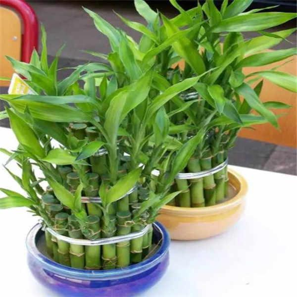 بيع كبيرة! 20 قطعة من الخيزران محظوظا النباتات بونساي جيدة الحظ النباتات حيوية عنيد شرفة غرفة المعيشة المنزل حديقة بونساي