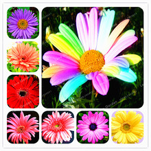 Big Sale 100 Pcs/Bag Rare Rainbow Daisy Seeds Beautiful Morifolium Seeds  Very Easy Grow Herb Plant DIY Gardening Flower