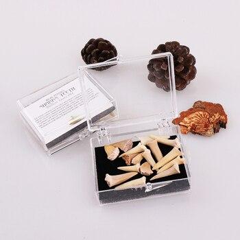 1 caja de regalo de Diente de Tiburón fósil con caja decoración del hogar muestra enseñanza
