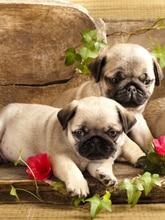 Lovely Pug Dogs Rose Flower 5D Diy Diamond