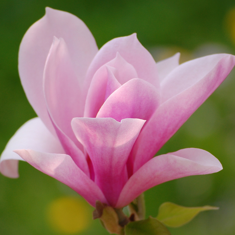 Hot sale pink magnolia seeds common magnolia flowers potted plant hot sale pink magnolia seeds common magnolia flowers potted plant the full range of flower seeds 30pcs in bonsai from home garden on aliexpress mightylinksfo