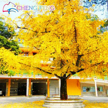 20pcs Large Gold Ginkgo Biloba Tree Seeds Beautiful Foliage Plants Perennial Flower Seeds Ginkgo Bonsai Seed Mini-bonsai-tree