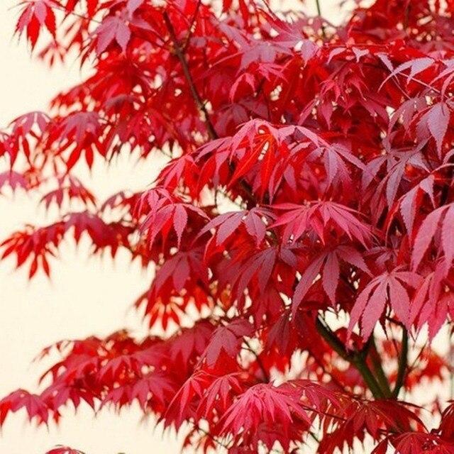 20 قطع الأحمر اليابانية القيقب Palmatum Atropurpureum النبات شجرة حديقة ديكور