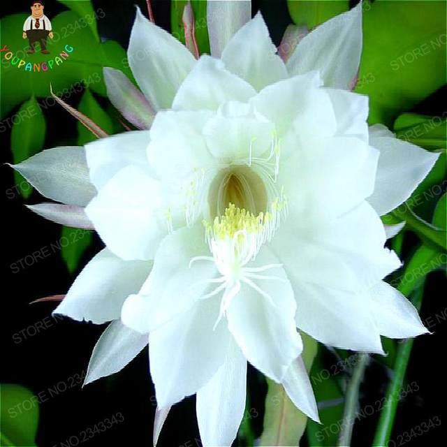 20pcs epiphyllum seeds nightblooming cereus flower plants seed home garden perennial rare flowers houseplants semillas - White Flowering House Plants