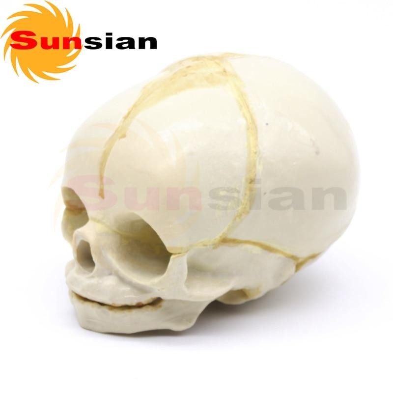 Fetal skull model 30 weeks, Fetus Skull Skeleton Medical Model ...