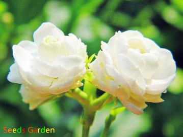 Popular200 pcslot big white jasmine flower plantas bonsai popular200 pcslot big white jasmine flower plantas bonsai indoor plants for gardens in bonsai from home garden on aliexpress alibaba group mightylinksfo