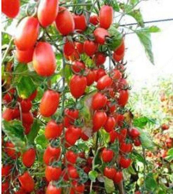 100 pièces escalade tomate comestible tomate bonsaï plantes végétales nourriture bonsaï pot maison jardin plantation 4