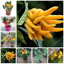 50 Pcs Bergamot Bonsai Plants, Family Potted ,Gold Buddha Hand, Purify Air,Outdoor Yellow Gold Melon Good Tasty Succulent Fruit(China)