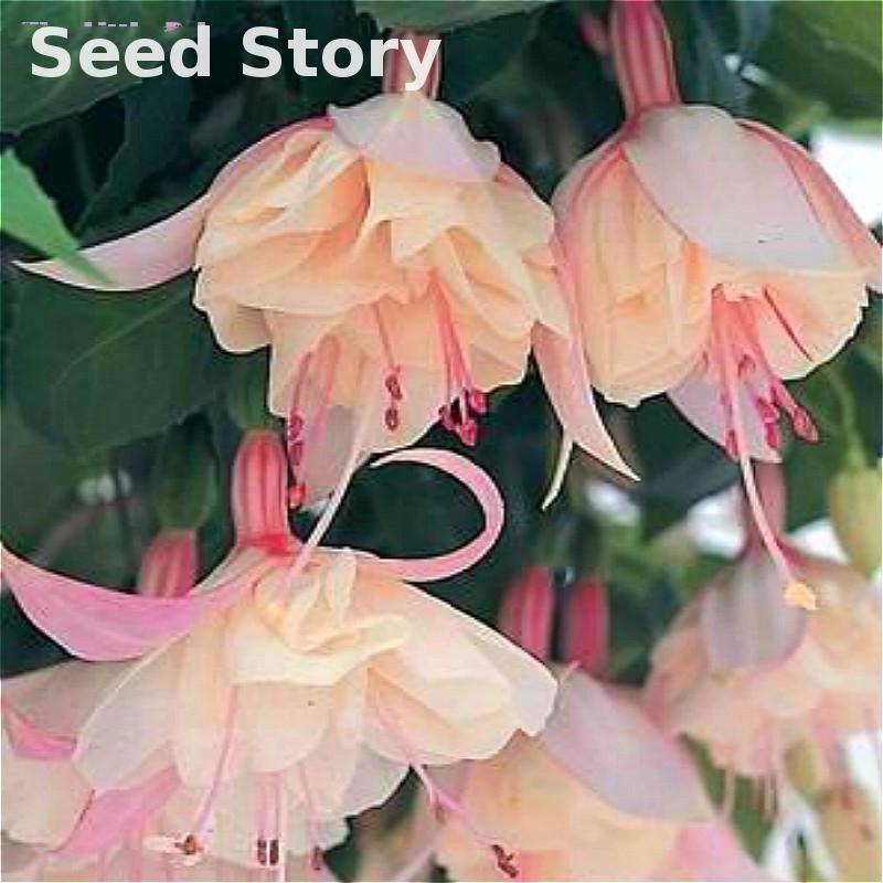 100pcs/bag Indoor Plants Flowers Seed Lantern Begonia Flower Seeds Diy  Plant Bonsai Seeds For