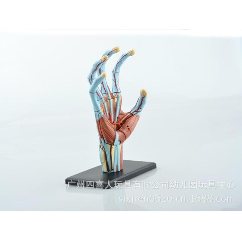 28 Pieces Assembled Hand Joint Skeleton Model Humans Skeleton Model ...