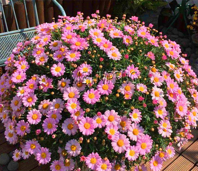Genuine!100pcs/bag Ground Cover Chrysanthemum bonsai Easy to Grow flower plant for Home Garden Bonsai Plants,#C8V6XZ