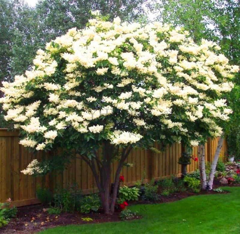 AliExpress & Time-Limit!!100pcs Lilac Flower Plants Bonsai Potted DIY Home Garden Summer Bloom Beautiful Flowers#LYHF6V