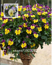 100 Pansy flower seeds human face cat face butterfly flower fragrance Poland and Iceland issued national flower free shipping(China)