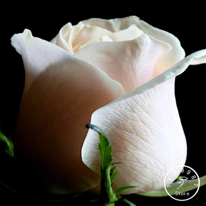 Vendita calda! 150 pz/Lott Comune Giardino di Rose Bianche Bonsai Fragrante di Fiori e Piante In Vaso Coltivazione di Rose flores, # ZV4C0S