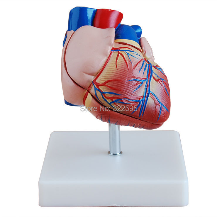 big heart anatomical model of new natural, biological science physiology teaching laboratory equipment 42cm male 13 torso model torso anatomical model of medical biological teaching aids equipment