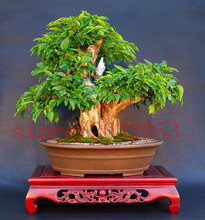 20 rare japanese bonsai tree cherry mini sakura for home decoration