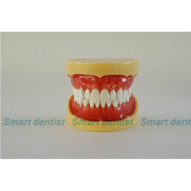 2016 Soft gum standard tooth jaw model C , each teeth removable,Dental Model,Education,Medicine