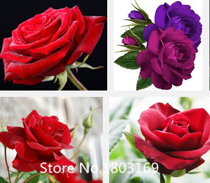 2016100 seeds colors rare rainbow rose flower seeds multi for Multi colored rose bushes