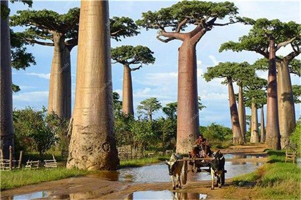 3374-baobab