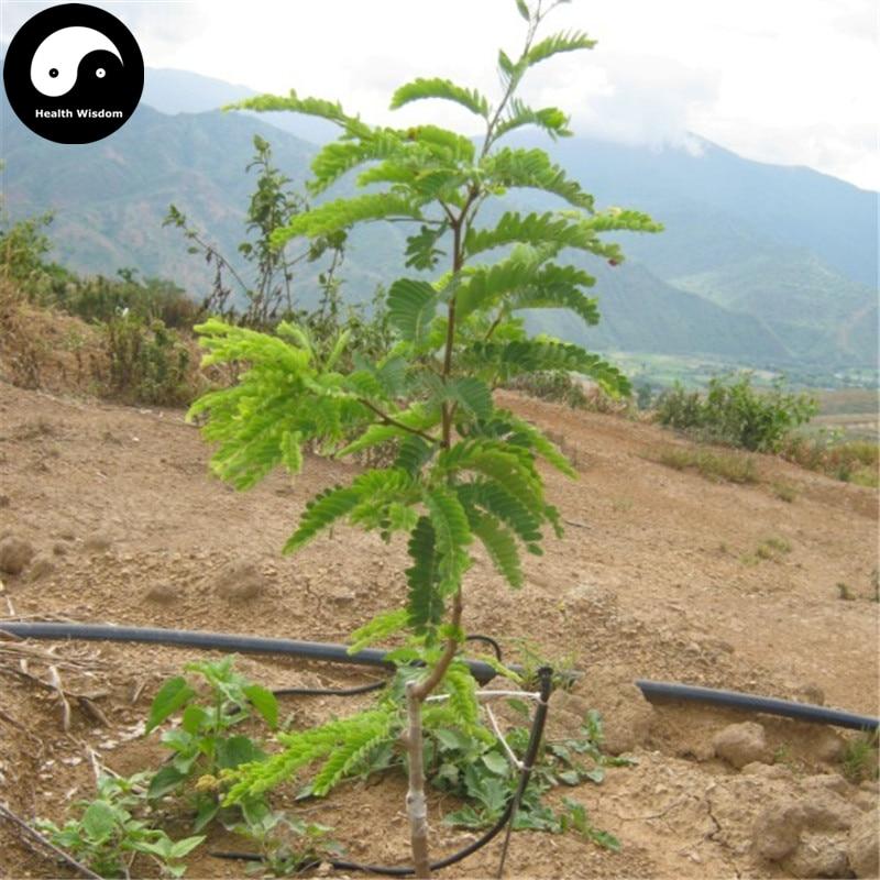 Tamarindus Indica Semente Seeds 120pcs Best Seeds Online