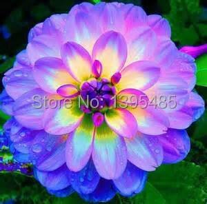 30/bag dahlia,dahlia flower Mixed Colors Dahlias Seeds For DIY Home Garden free shipping