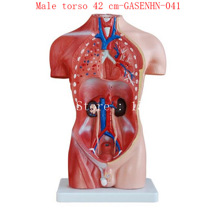 Cranial esophagus trachea aorta heart lung stomach diaphragm liver cranial esophagus trachea aorta heart lung stomach diaphragm liver pancreas spleen intestine male torso 42 cm gasenhn 041 in medical science from office ccuart Images