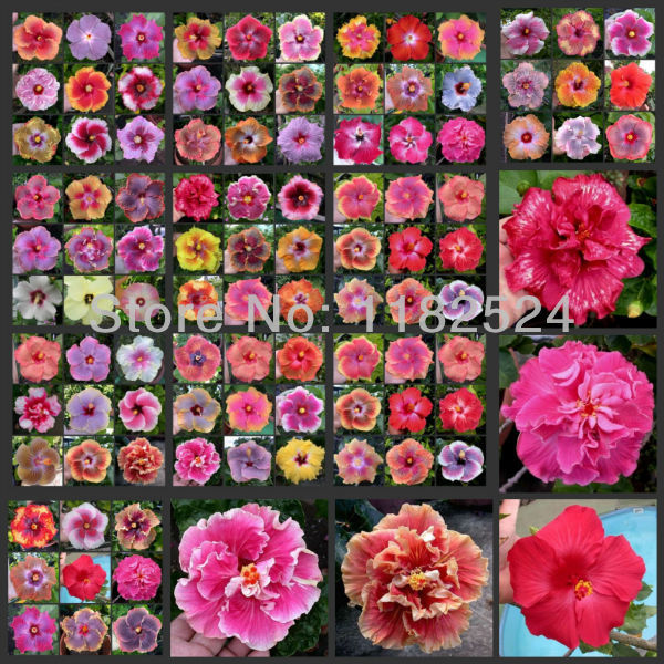 Us 099 50 Seeds Mix Rare Tropical Hibiscus Seeds Flower Plant Seeds On Aliexpresscom Alibaba Group