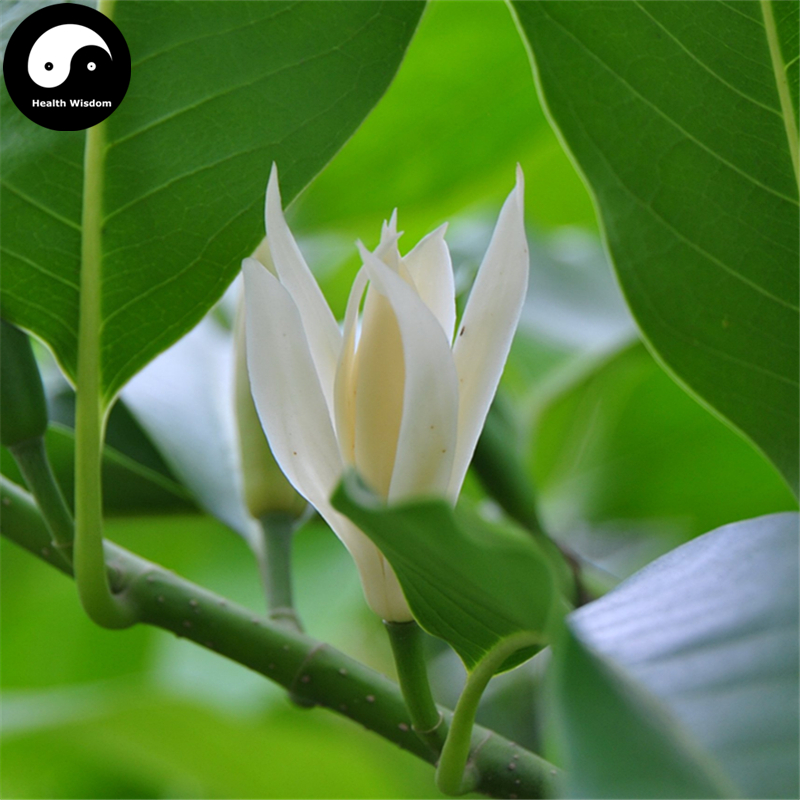 Buy magnolia tree semente 50pcs plant magnolia denudata for white buy magnolia tree semente 50pcs plant magnolia denudata for white flower yu lan in bonsai from home garden on aliexpress alibaba group mightylinksfo