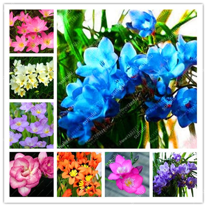 Красочные фрезия бонсай, Смешанная, фрезия цветок орхидеи фрезия корневища луковичные цветы ароматные великолепный сад домашних растений ...