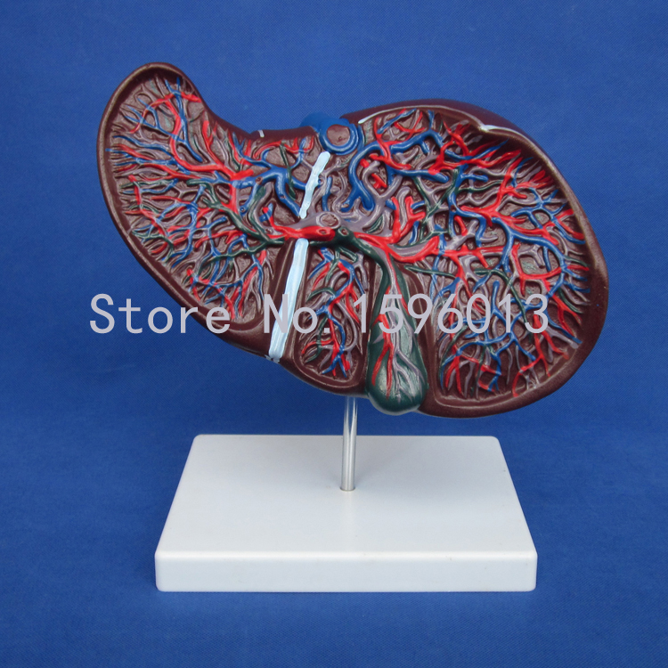 Anatomical Liver Model, Human Liver with Gall Bladder Model 1 1 human anatomical duodenum gall bladder disease anatomy medical model school hospital new