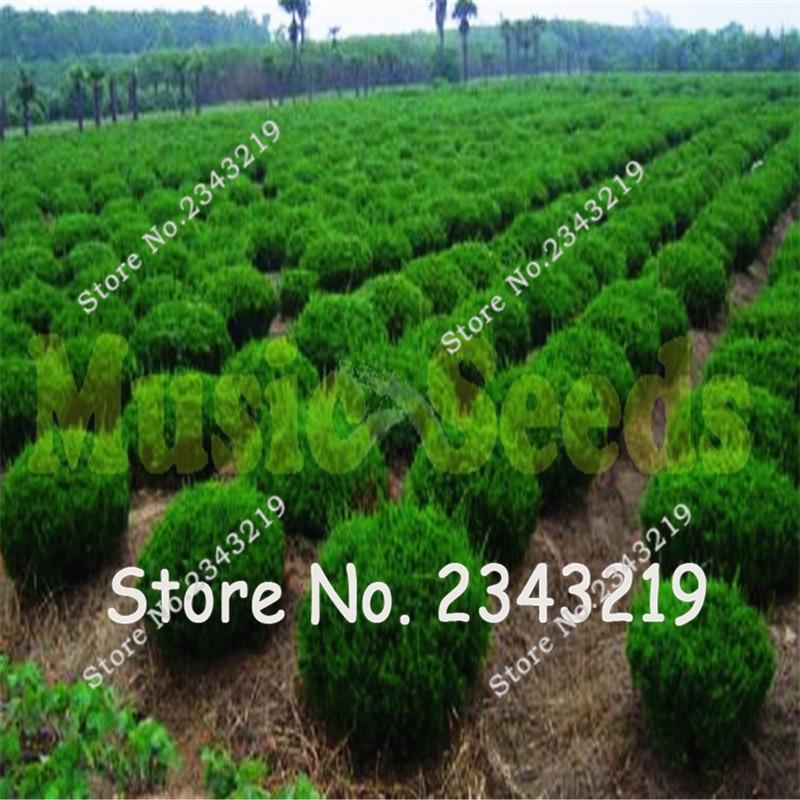 Juniper bonsai alberi acquista a poco prezzo juniper for Piante a poco prezzo
