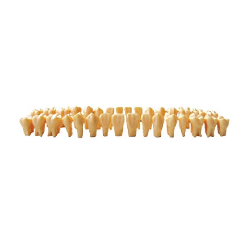 1 ensemble modèle d'étude dentaire modèle de dents 2/3 deux fois modèle éducatif de dents permanentes