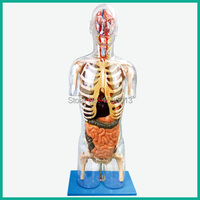 HOT Transparent Torso With Internal Organs Model Human Torso Model 53 Points Marked