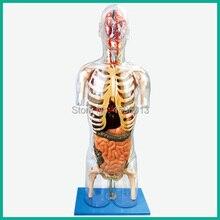 Transparente modelo de Torso com Órgãos Internos, modelo de torso humano 53 pontos marcados