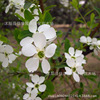 Tree Seed Exochorda Wholesale Authentic Gold Fruit Seed Seed White Silk Cocoon Plum Flower Real Shot