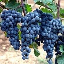 Kyoho Grape Seed, 30pcs/pack