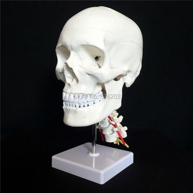 Cráneo humano de tamaño natural en las vértebras cervicales/Spine ...