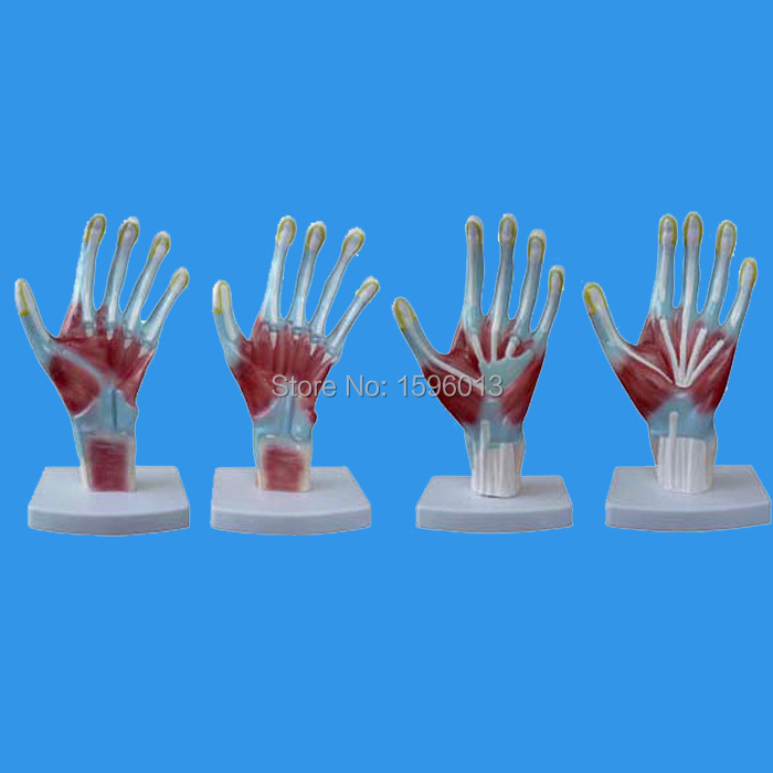 HOT Hand Anatomy model, Palm Model, Anatomical Hand Model-in Medical ...