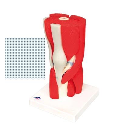 Моделирование коленного сустава ломит суставы при орви