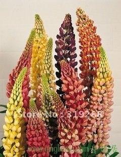 10pcs/bag lupin flower Seeds mixed colour DIY Home Garden