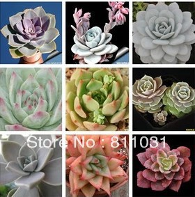 Hot selling 20pcs stone lotus seeds bonsai Succulents plant DIY home garden